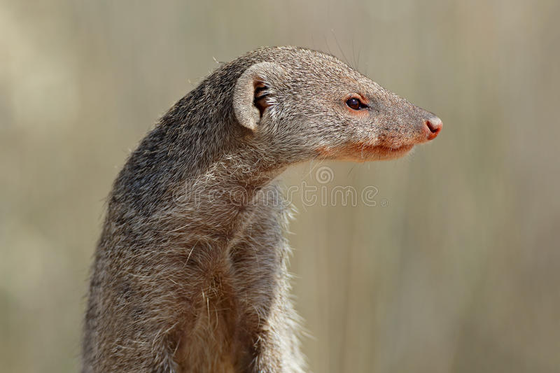 Banded mongoose portrait stock image