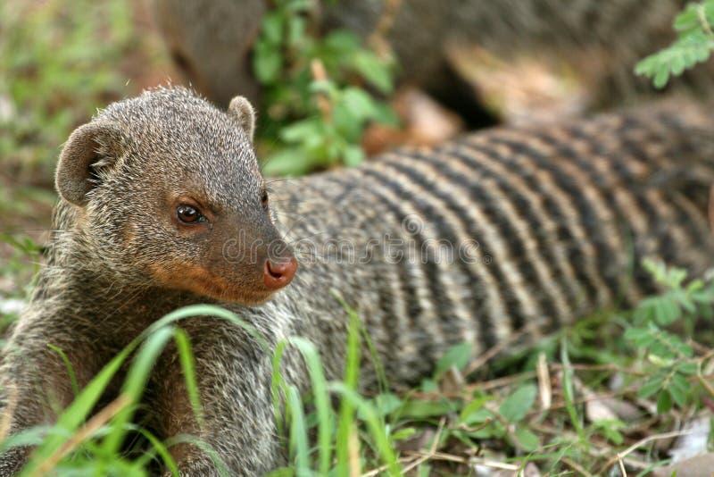 Banded Mongoose - Tanzania, Africa royalty free stock image