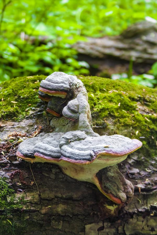 Fomitopsis pinicola or red belt conk on fallen trunk royalty free stock photos
