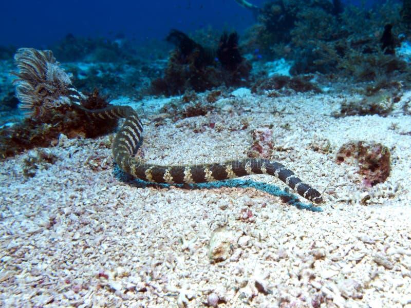 Banded sea krait royalty free stock photos