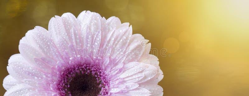 Bandeira cor-de-rosa bonita do verão da flor da margarida do gerbera fotografia de stock