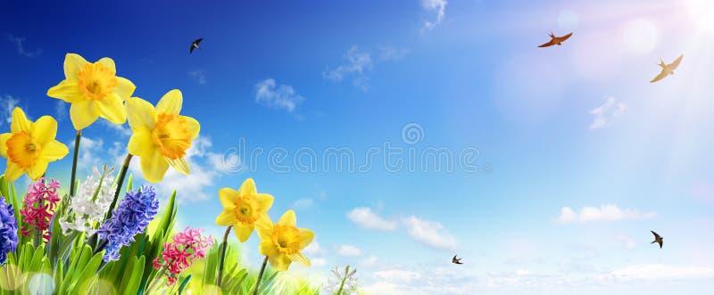 Bandeira da mola e da Páscoa - narcisos amarelos no gramado fresco fotografia de stock royalty free