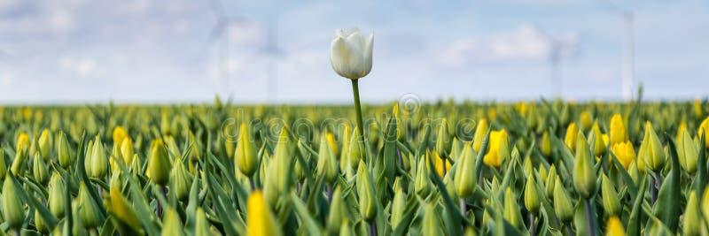 A bandeira da Web com tulipas amarelas coloca durante a primavera no N imagem de stock