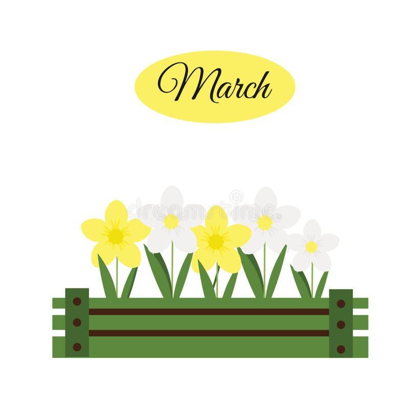 Bandeira de março com narcisos amarelos Narciso na caixa de madeira, jardinando ilustração stock