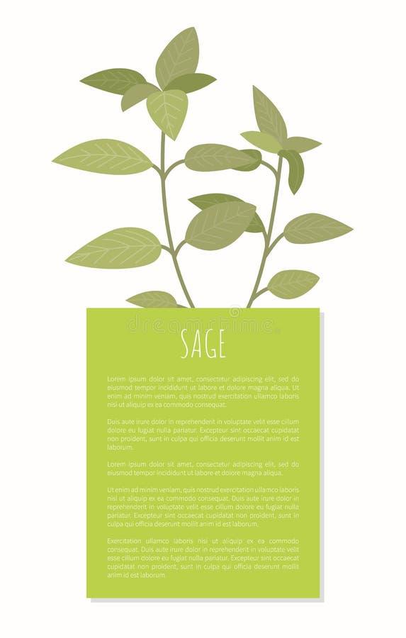 Bandeira do vetor de Sage Spice Greenery Isolated Plant ilustração do vetor