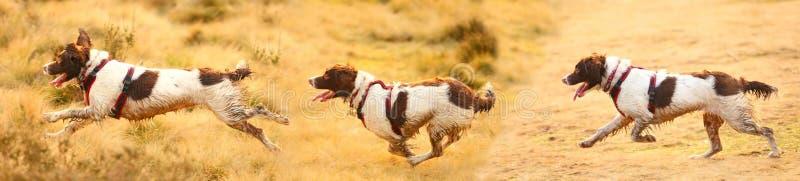 Bandeira dos cães running fotos de stock royalty free
