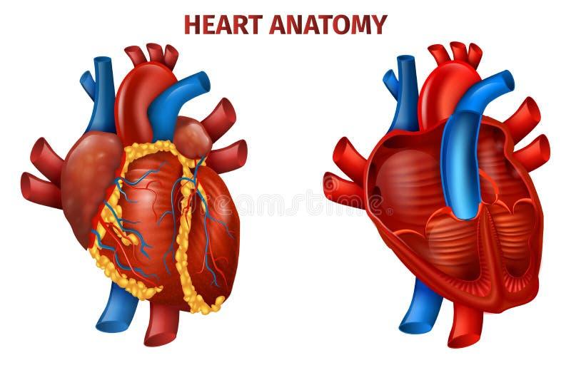 Bandeira realística do diagrama com anatomia humana dos corações ilustração do vetor