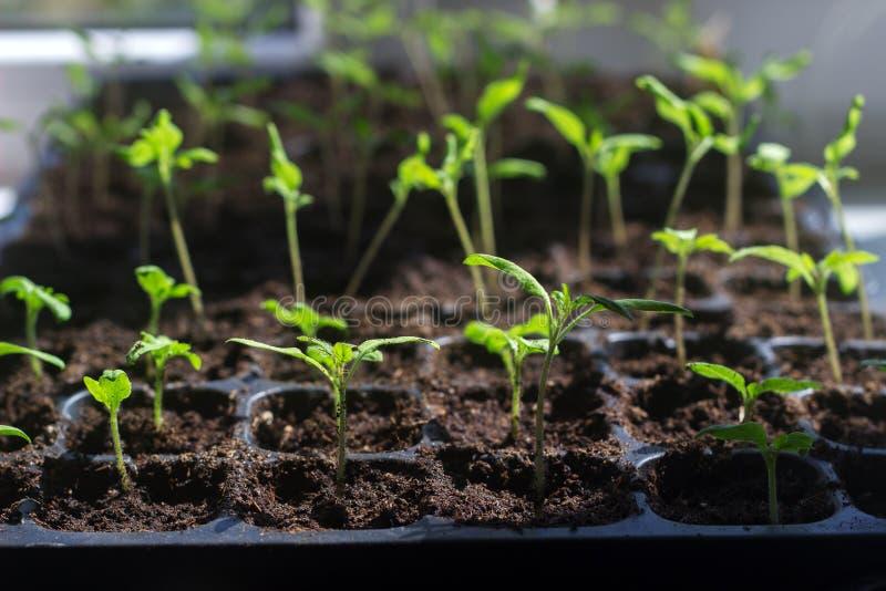 Bandeja con los brotes jovenes del tomate en el alféizar Almácigos crecientes en casa foto de archivo