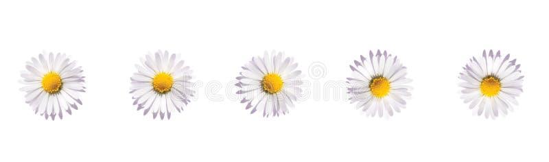 Bandera de las flores de la margarita, flores blancas aisladas en el fondo blanco Flor de la manzanilla Endecha plana, visi?n sup ilustración del vector