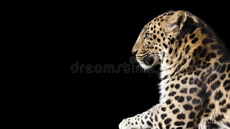 bandera del perfil del leopardo fotografía de archivo libre de regalías