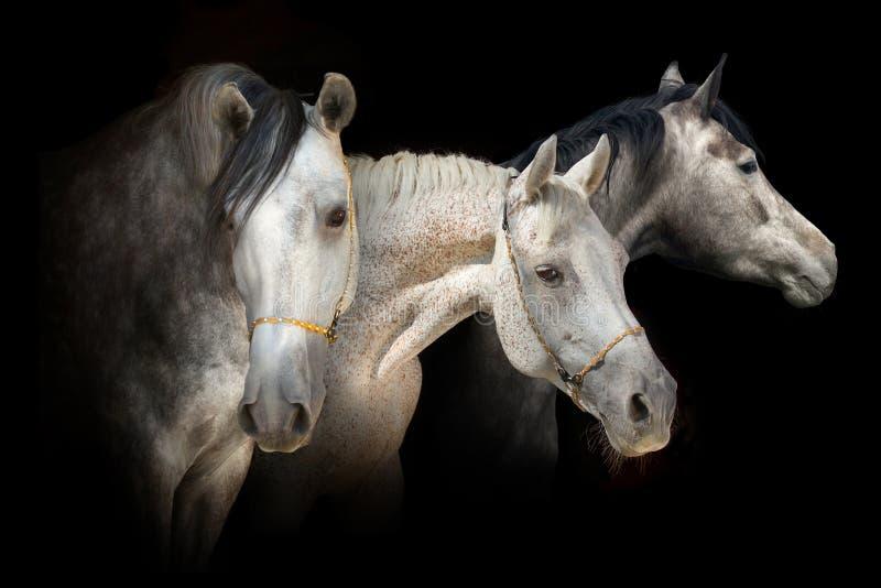Bandera del retrato de tres caballos imágenes de archivo libres de regalías