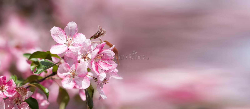 Bandera en colores pastel con una rama de las flores rosadas delicadas de la manzana de la primavera imagen de archivo libre de regalías