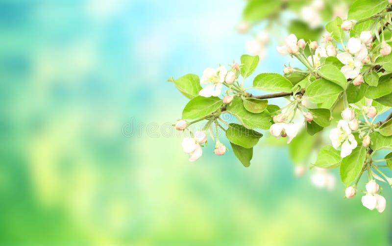 Bandera horizontal de la primavera con las flores de la manzana foto de archivo