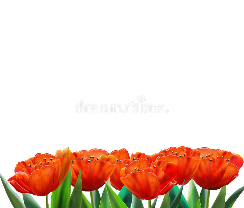 BANDERA roja del tulipán imagen de archivo libre de regalías