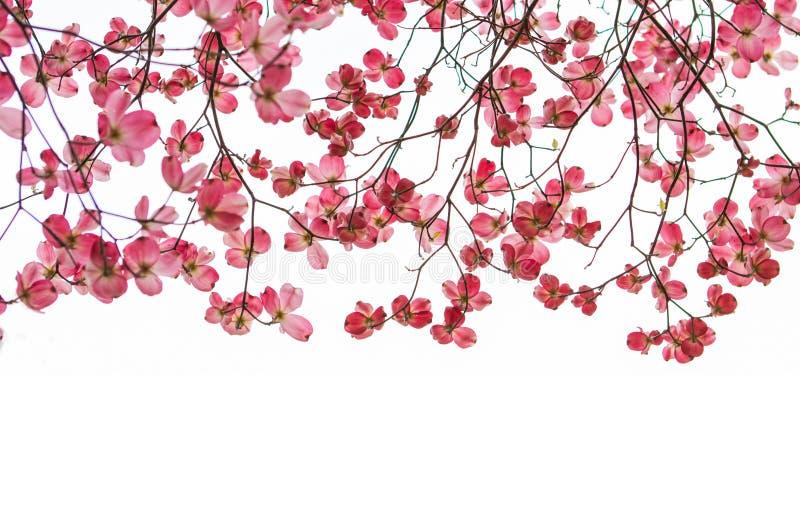 Bandera rosada del árbol de cornejo con las ramas foto de archivo