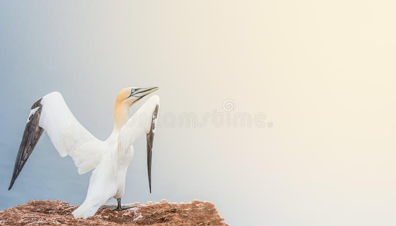 Banderoll med vacker natur uppvaknande, vilt nordatlantisk gannett med slät gradientbakgrund och direkt ljus, kopieringsutrymme arkivfoton