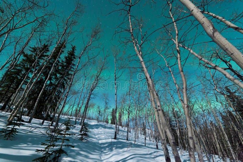 Bandes vertes des lumières du nord au-dessus du taiga d'hiver photographie stock libre de droits