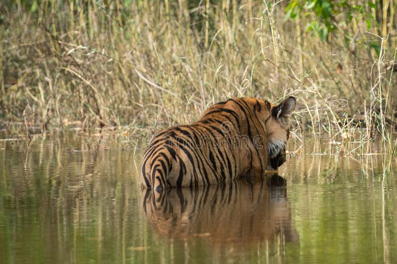 Bandhavgarh National Park Tiger or Wild Male Bengal Tiger Cooling off in water with reflection. Bandhavgarh Tiger or Wild Male Bengal Tiger Cooling off in water stock photos