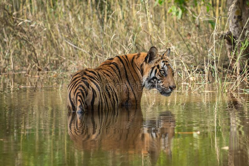 Bandhavgarh National Park Tiger or Wild Male Bengal Tiger Cooling off in water with reflection. Bandhavgarh Tiger or Wild Male Bengal Tiger Cooling off in water stock photo