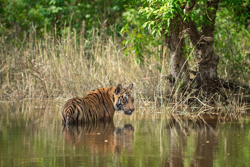 Bandhavgarh National Park Tiger or Wild Male Bengal Tiger Cooling off in water with reflection. Bandhavgarh Tiger or Wild Male Bengal Tiger Cooling off in water royalty free stock photo
