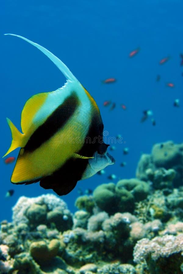 Bandiera-pesci del Mar Rosso fotografia stock libera da diritti