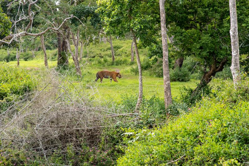 Bandipur National forest. Bandipur National Tiger reserve famous for Tiger sightings in Karnataka, India royalty free stock image