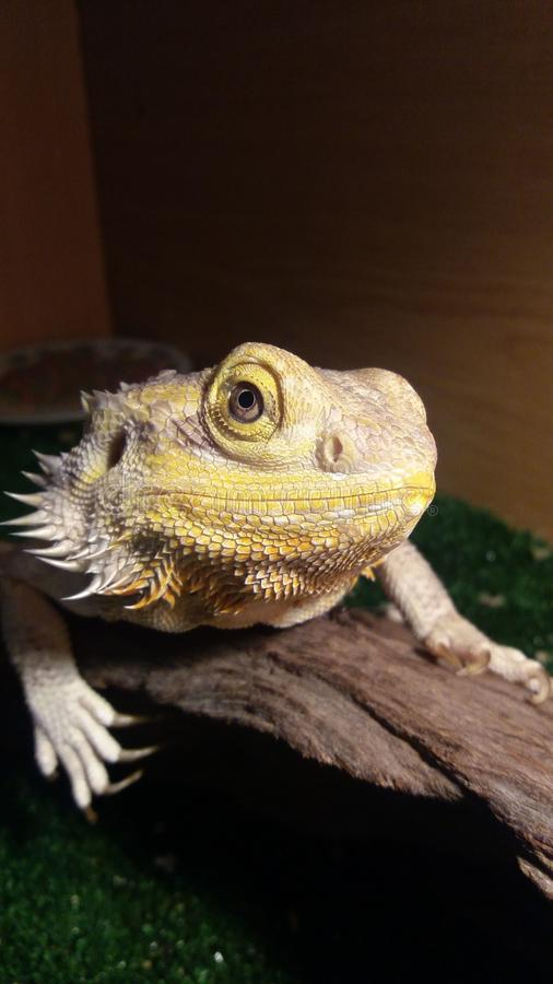 The dragon. Bandit the beardeddragon stock image