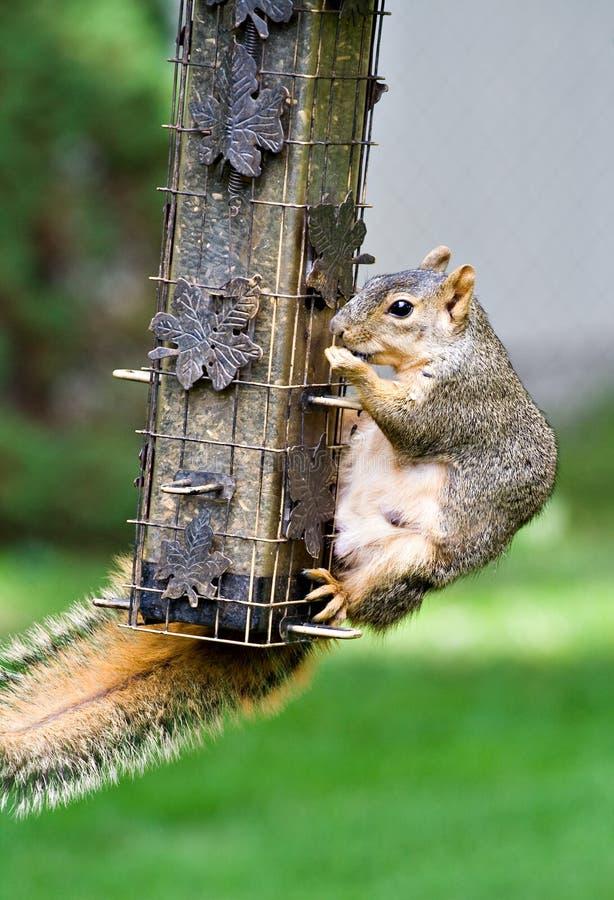 Bandito dello scoiattolo immagine stock