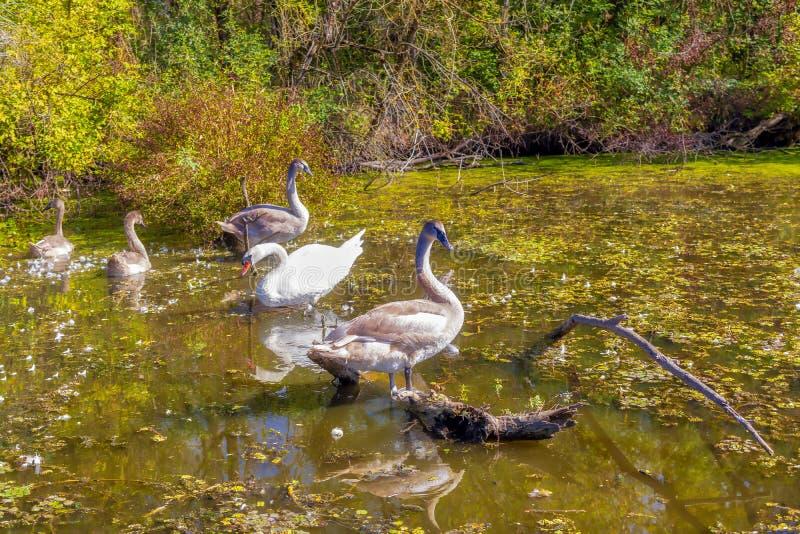 Bando de Cisnes imagem de stock