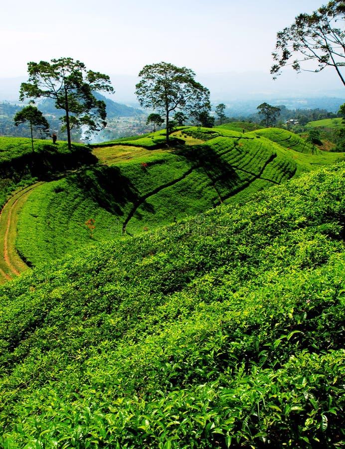 bandung τσάι φυτειών στοκ φωτογραφία