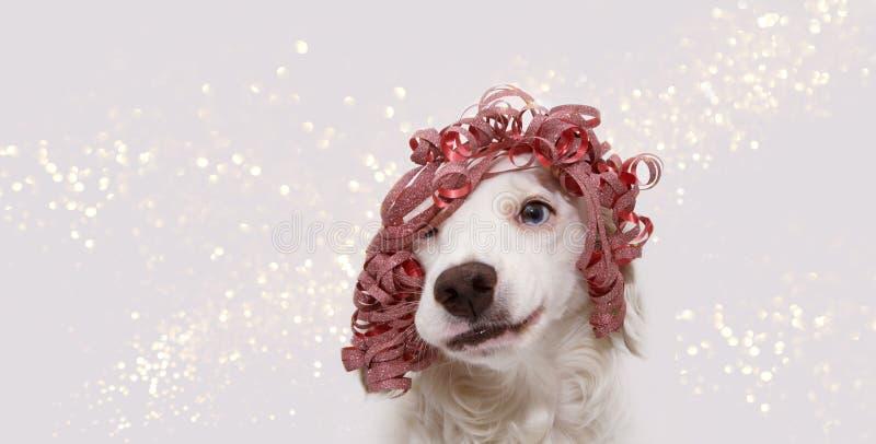 Banerhund som firar jul, födelsedagen, det nya året eller karnevalpartiet som bär en röd bandgåva som peruk och gör en dumbom royaltyfria foton