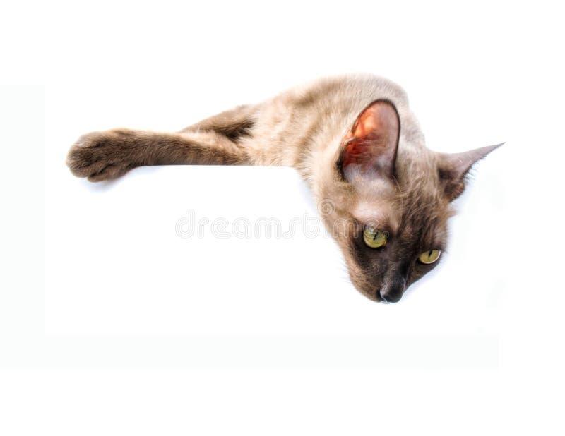 Banertecken för Burmese katt fotografering för bildbyråer