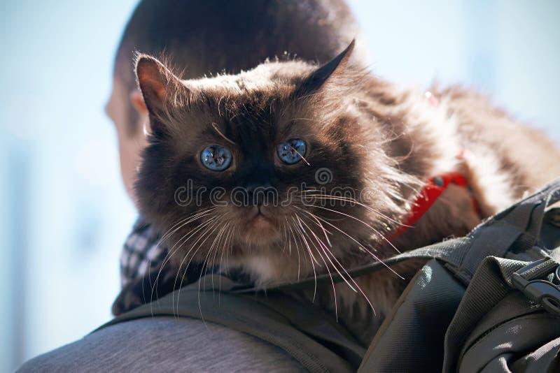 Bang gemaakte mooie volbloed- kat met prachtige blauwe ogen stock afbeelding