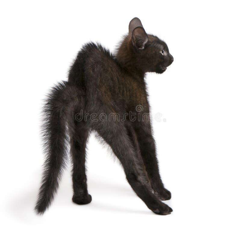 Bang gemaakte zwarte katje status royalty-vrije stock foto's