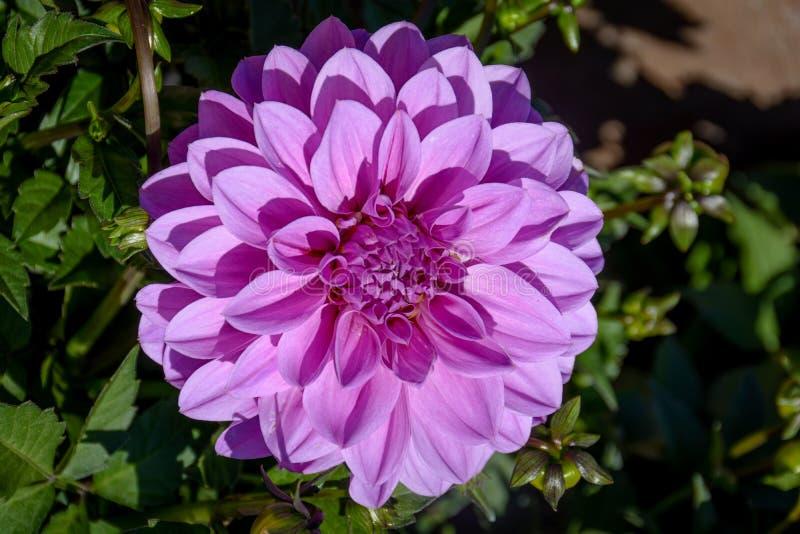 Bang nära övre purpurfärgade Dahlia Flower arkivbild