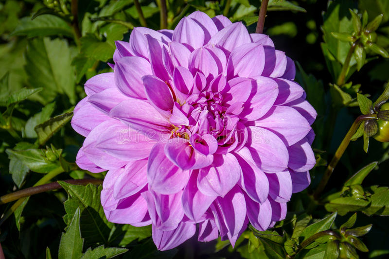 Bang nära övre purpurfärgade Dahlia Flower royaltyfri foto