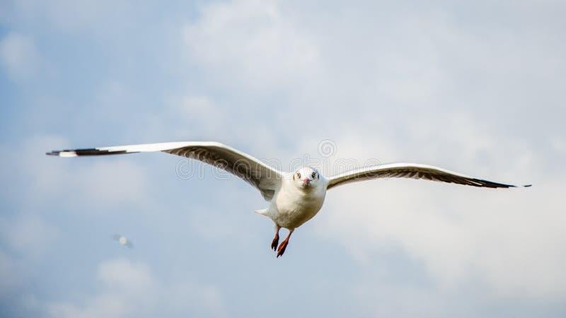 Bang Poo, Thailand : Seagull flying. royalty free stock photo