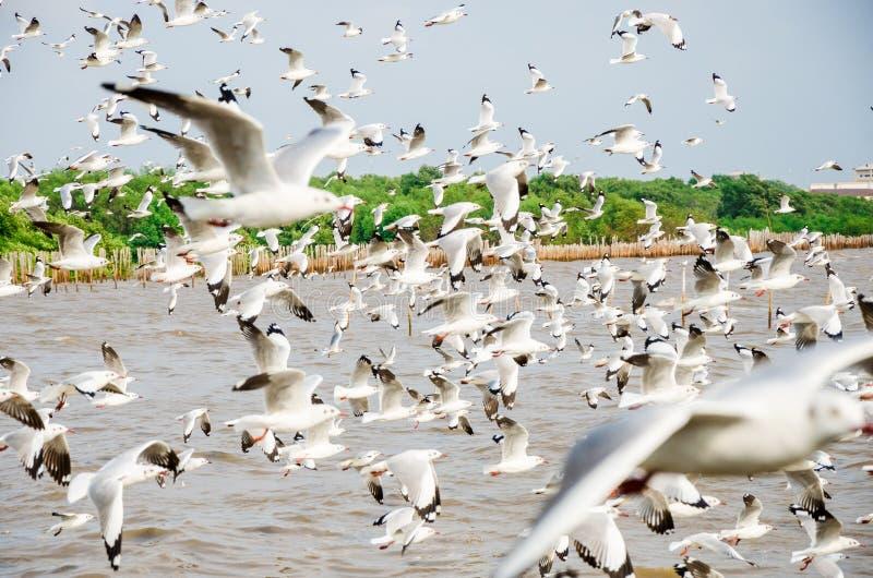 Bang Poo, Thailand : Swarm of Seagull flying. royalty free stock photo