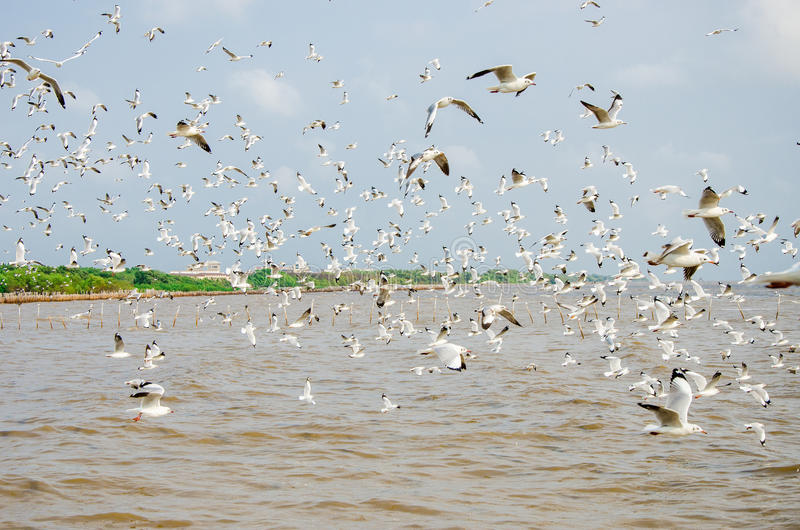 Bang Poo, Thailand : Swarm of Seagull flying. stock photography