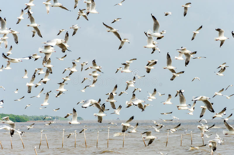 Bang Poo, Thailand : Swarm of Seagull flying. stock photo