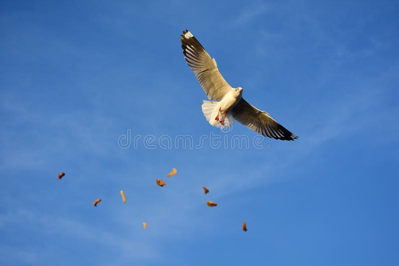 Bang PU Recreation Center, Samut Prakan, Thailand. Seagulls are flying to avoid food thrown by tourists at mangrove forest in Bangpu Recreation Centre, Samut royalty free stock photo