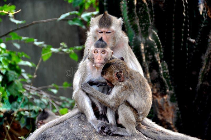 Download Bang Saen, Thailand: Grooming Monkeys Stock Image - Image: 13138517