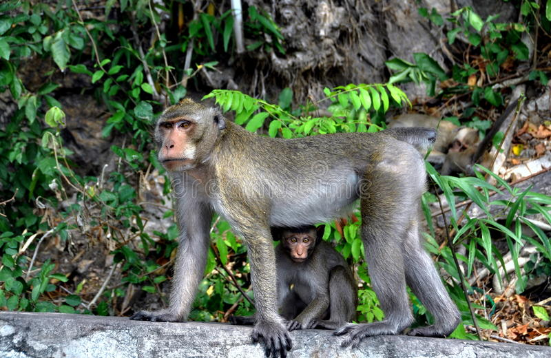 Download Bang Saen, Thailand: Mother Monkey And Baby Stock Image - Image: 12799187