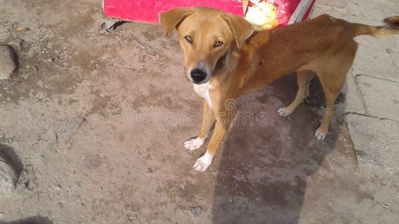 Bangaladeshi dog stock image