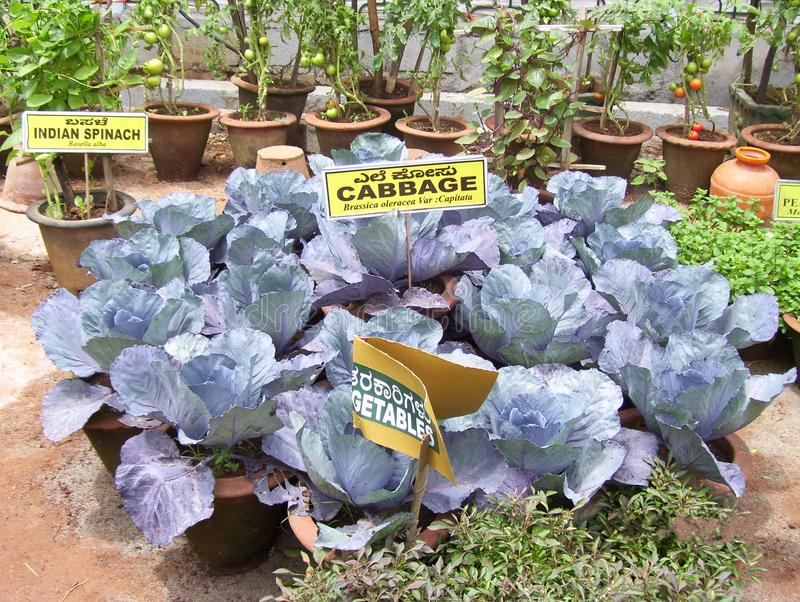 Bangalore, Karnataka, India - August 11, 2008 Purple color cabbage at Lalbagh Botanical Garden royalty free stock photo
