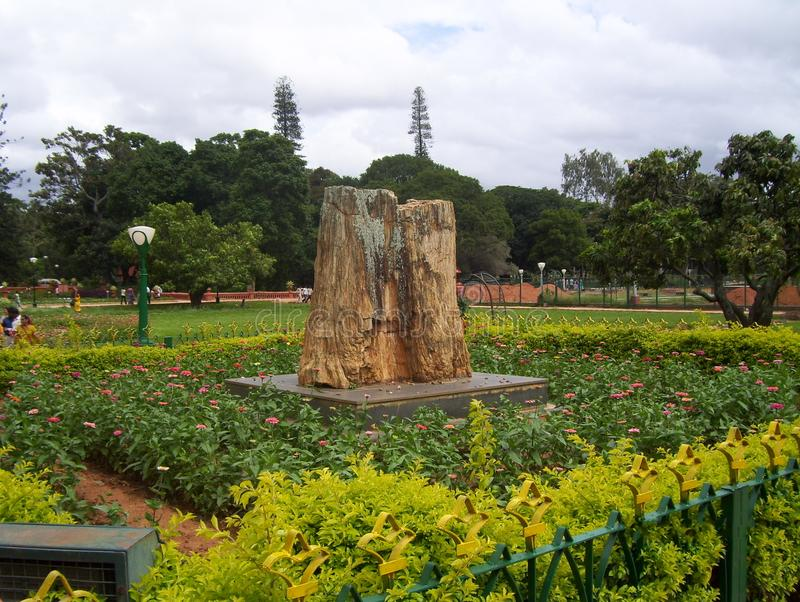 Bangalore, Karnataka India, Sierpień, - 11, 2008 20 milion lat drzewna skamielina osłupiały iglasty drzewo fotografia royalty free