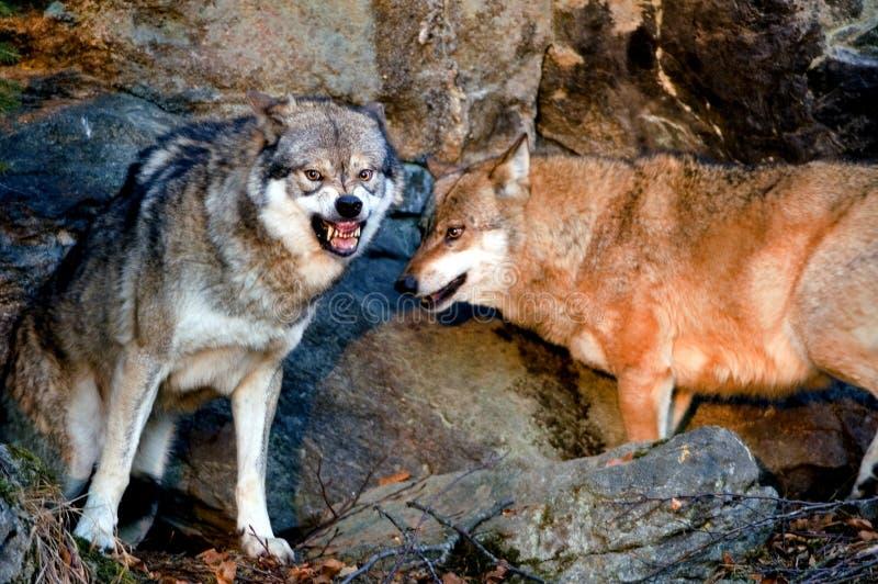 Bange wolf stock afbeelding