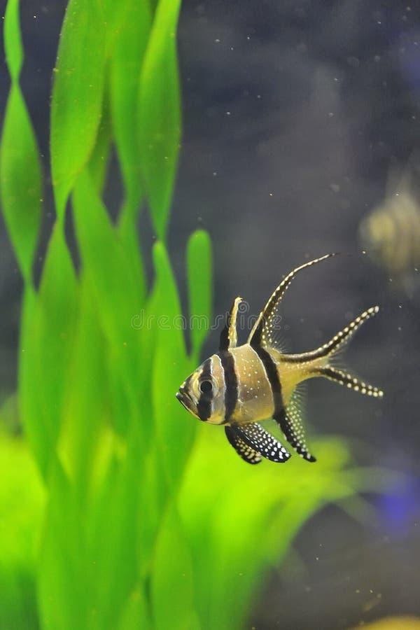 banggai主教鱼 图库摄影