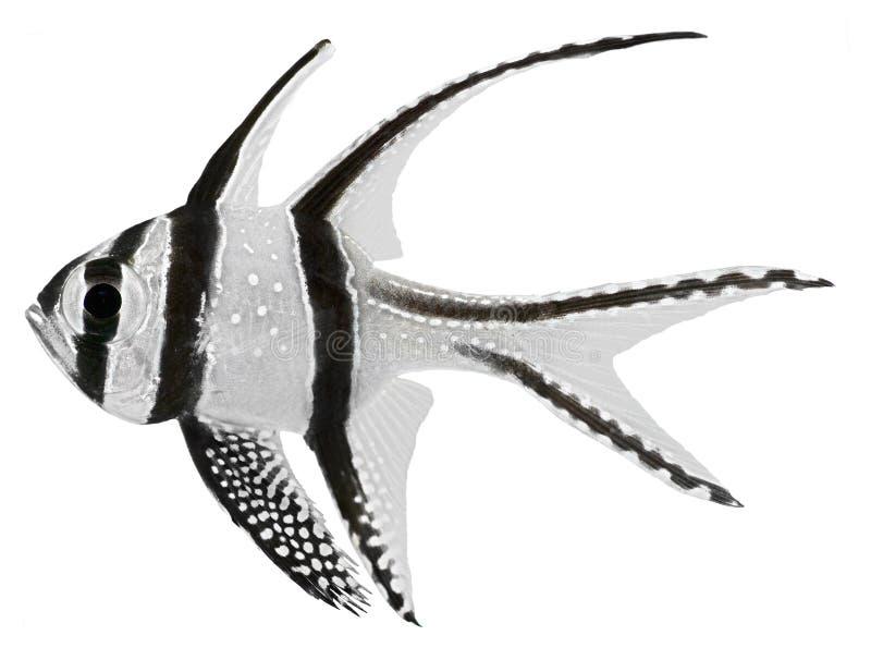 banggai主要鱼kauderni pterapogon 免版税库存照片