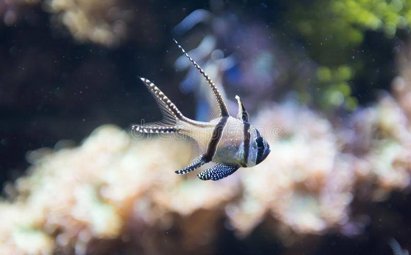 Banggai cardinalfish or Pterapogon kauderni. The Banggai cardinal fish is a small tropical cardinalfish in the family Apogonidae. This species grows up to 8 stock photography